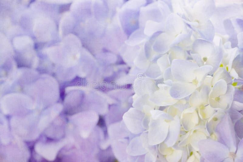 紫罗兰色八仙花属花 免版税库存图片