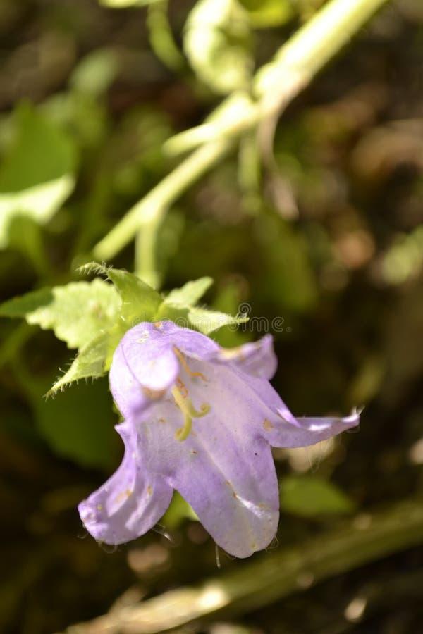 紫罗兰色响铃 免版税库存图片