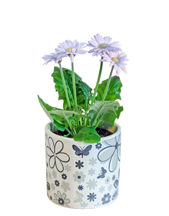 紫罗兰色大丁草开花,绿色叶子,花瓶,花盆,关闭,被隔绝 菊科(雏菊家庭) 库存照片