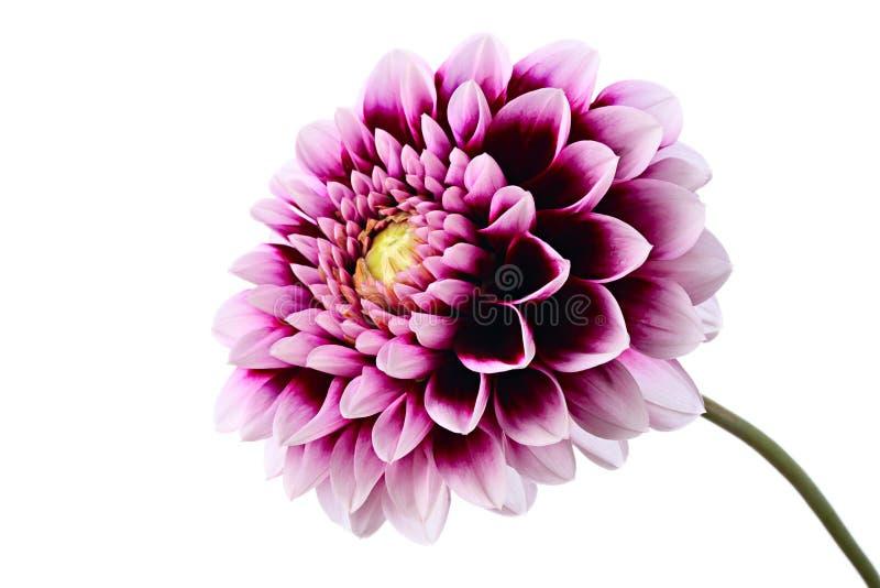紫罗兰色大丽花 库存图片