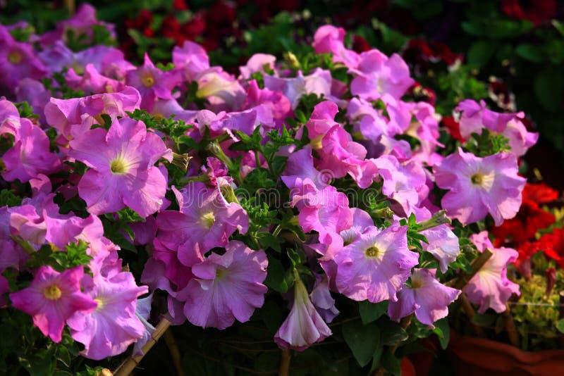 紫罗兰色开花的喇叭花 库存照片