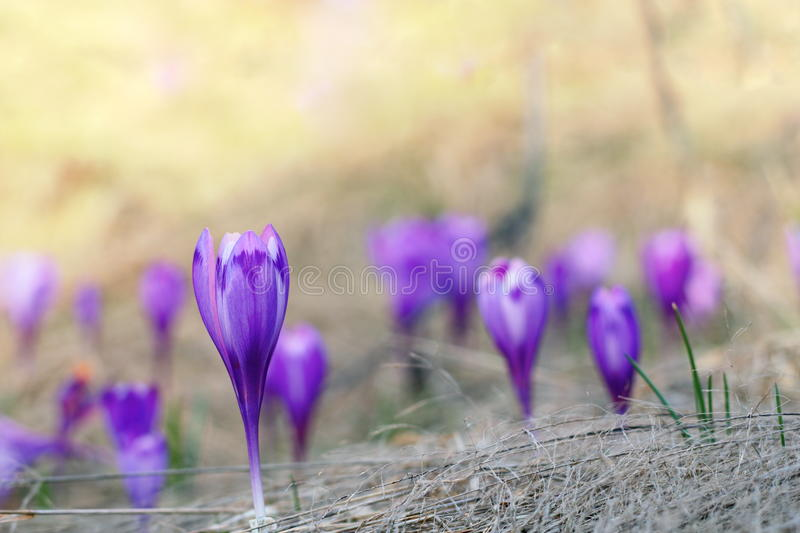 紫罗兰色番红花幼芽在春天 库存照片