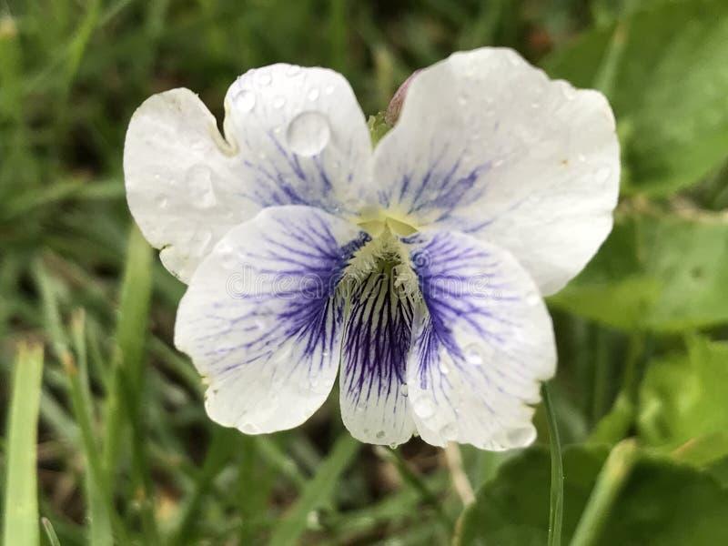 紫罗兰色白色 库存图片