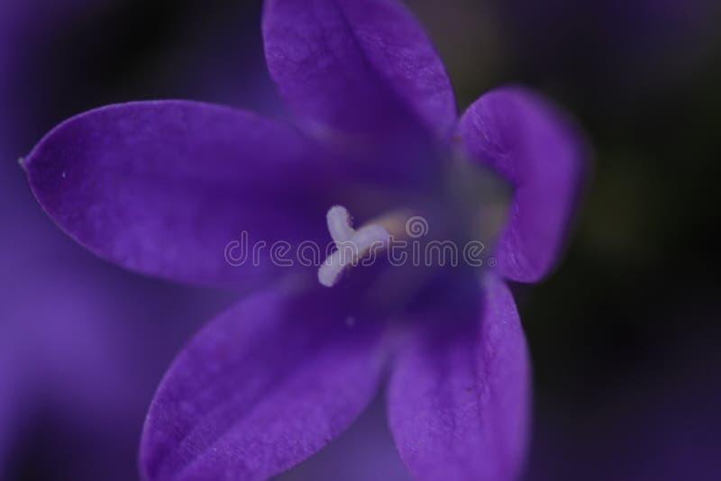 紫罗兰色的风轮草风铃草 免版税图库摄影