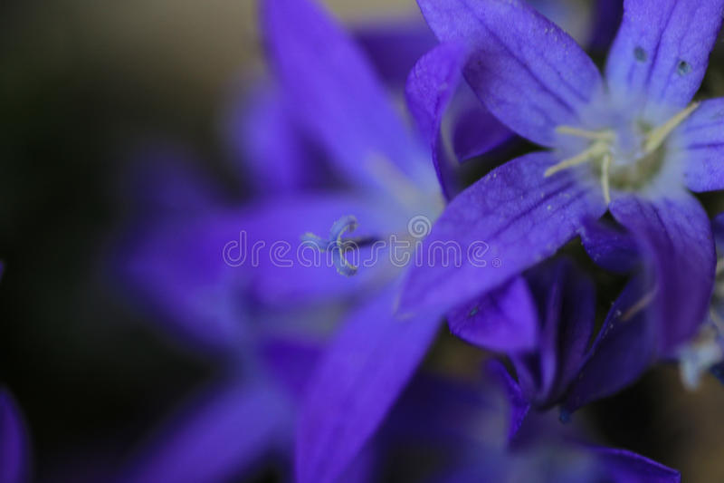 紫罗兰色的风轮草风铃草 库存照片