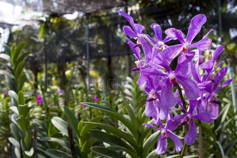 紫罗兰色石斛兰属兰花在农场 免版税图库摄影