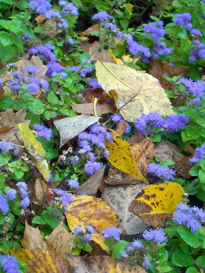 紫罗兰色藿香蓟属花 免版税图库摄影