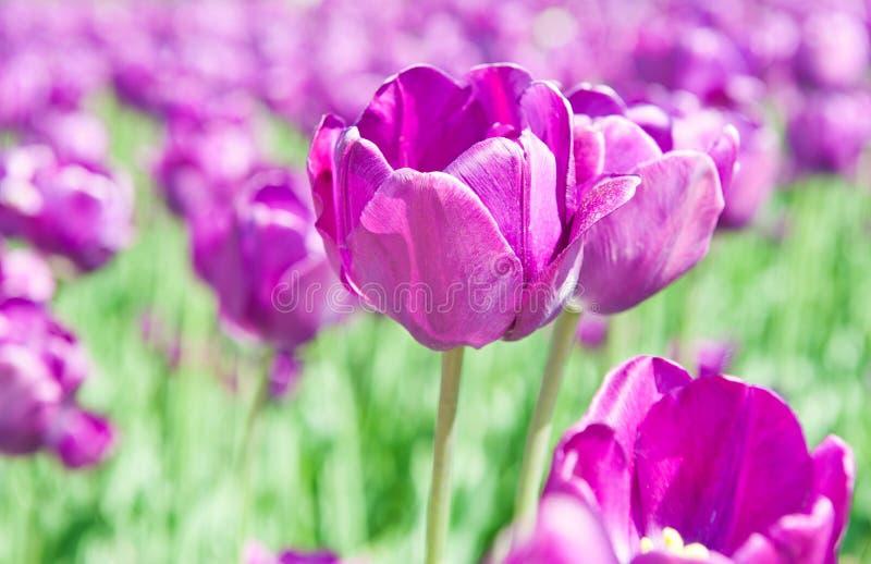紫罗兰色郁金香在晴朗的春日 库存照片