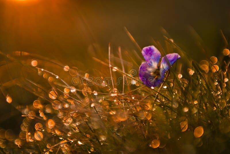 紫罗兰色野花 库存图片