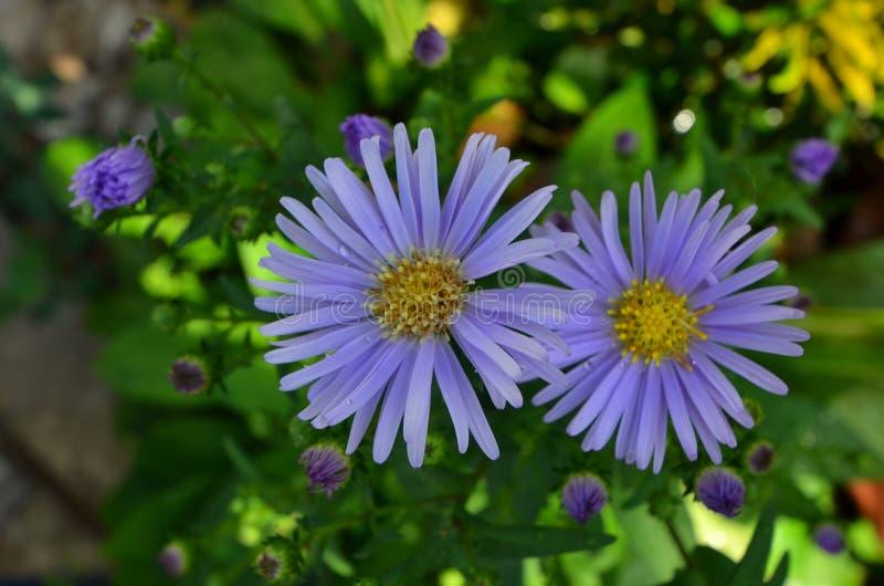 紫罗兰色雏菊花美好的夫妇  免版税库存图片