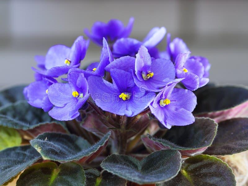 紫罗兰色非洲堇开花一般叫作非洲紫罗兰 免版税图库摄影