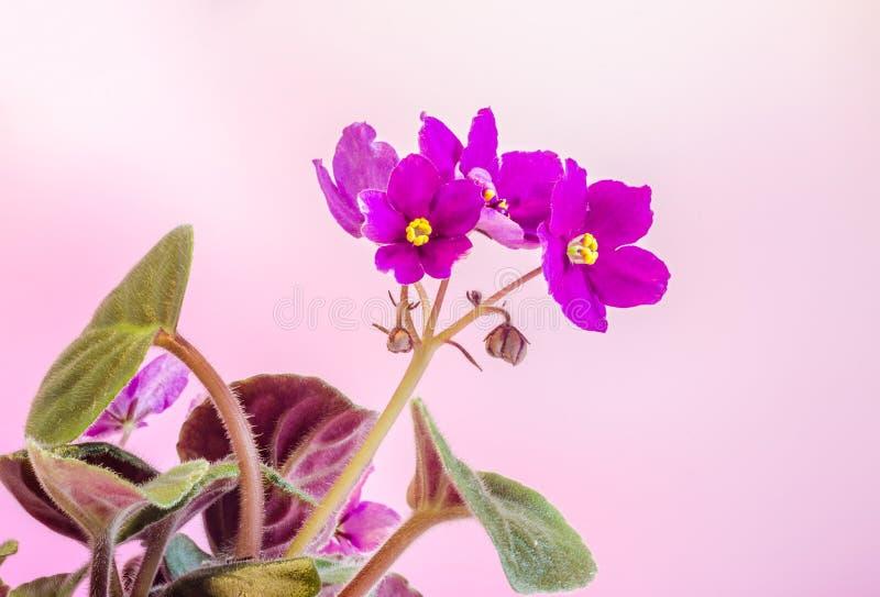紫罗兰色非洲堇开花,一般叫作非洲紫罗兰,帕尔马紫罗兰,关闭,被隔绝 免版税库存照片