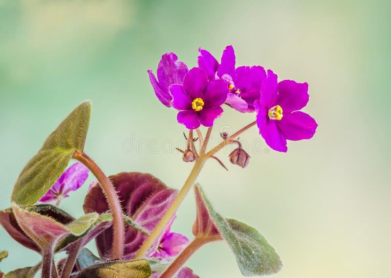 紫罗兰色非洲堇开花,一般叫作非洲紫罗兰,帕尔马紫罗兰,关闭,被隔绝 库存图片