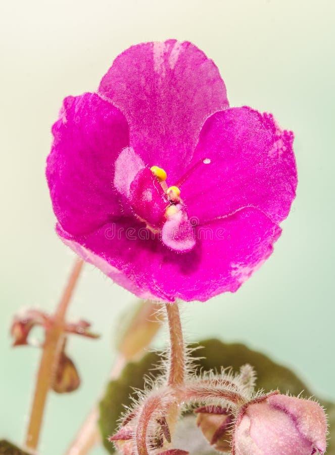 紫罗兰色非洲堇开花,一般叫作非洲紫罗兰,帕尔马紫罗兰,关闭  免版税库存图片