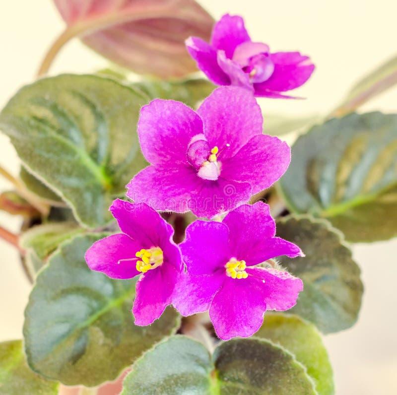 紫罗兰色非洲堇花 免版税图库摄影