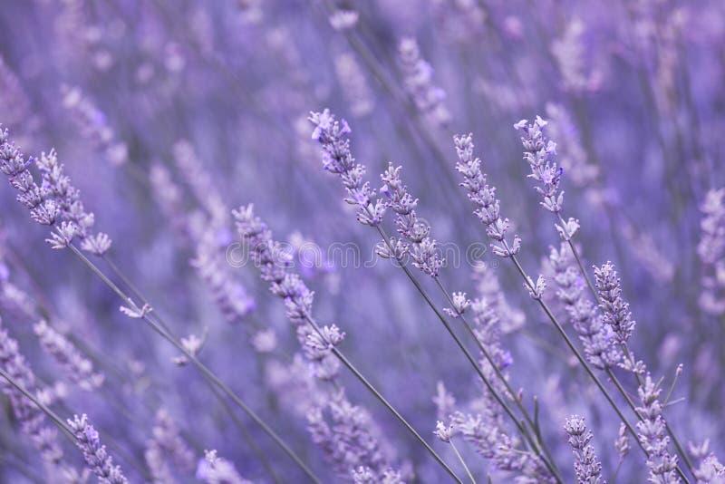 紫罗兰色颜色晴朗的被弄脏的淡紫色花田 免版税库存照片