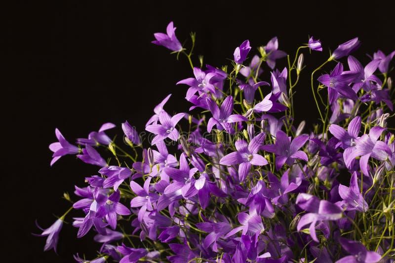 紫罗兰色风铃草在黑背景中 免版税库存照片