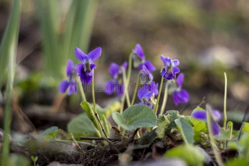 紫罗兰色绽放细节  库存照片
