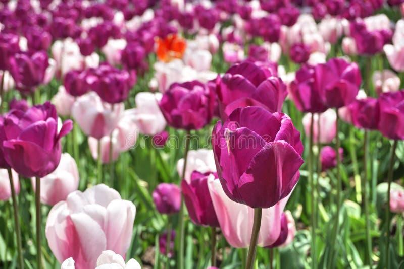 紫罗兰色(紫色)花的细节在许多桃红色百合中的,在城市庭院床上作为爱和秀丽的标志 图库摄影