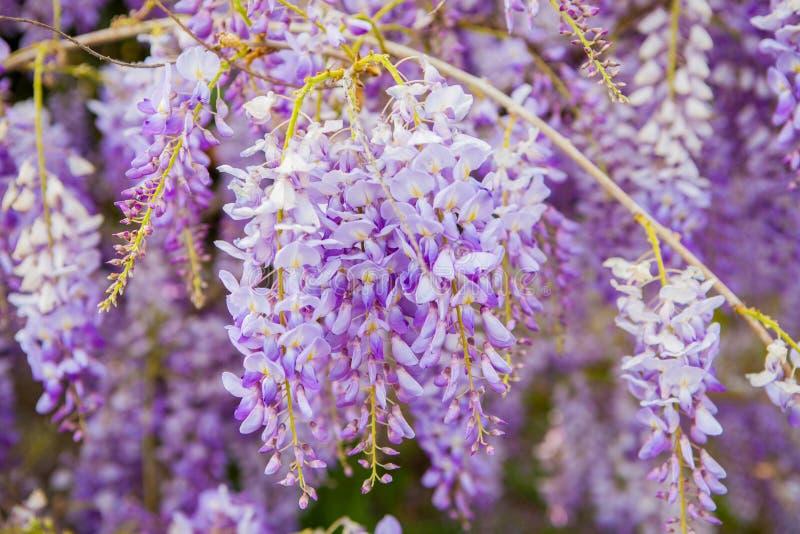 紫罗兰色紫藤花在春天 免版税库存图片