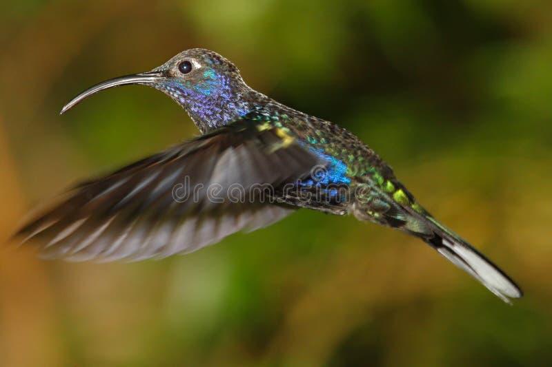 紫罗兰色Sabrewing哼唱着鸟 库存图片