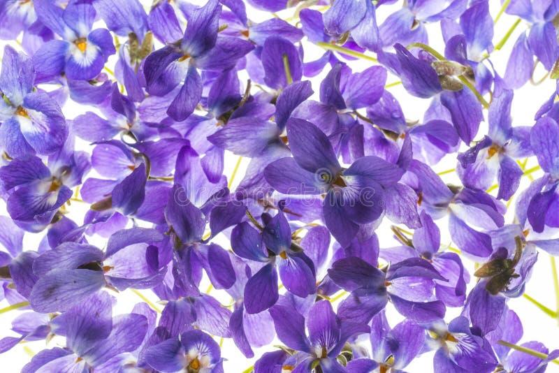 紫罗兰花 免版税库存照片