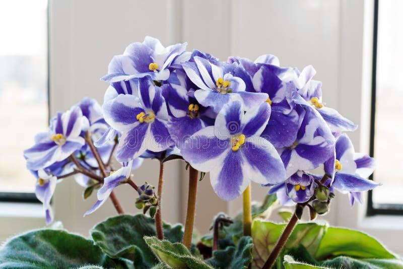 Download 紫罗兰 库存照片. 图片 包括有 中提琴, 植物群, 本质, 绽放, 紫色, beautifuler, 紫罗兰色 - 62536216