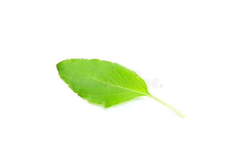 罗勒属密室叶子 免版税库存图片