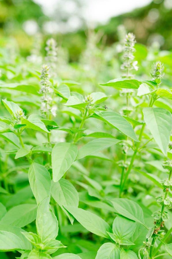 罗勒属basilicum或长毛的蓬蒿在庭院里 免版税库存照片