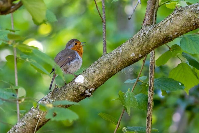 罗宾在春天在树上唱歌 库存图片