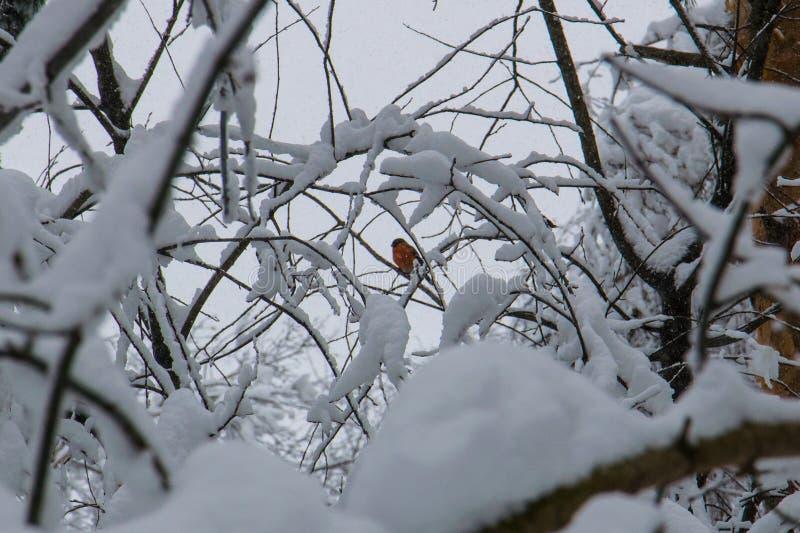 罗宾在白色的一个小分支栖息在以后降雪 免版税库存照片