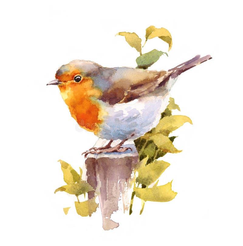 罗宾鸟水彩在白色背景隔绝的例证手画 皇族释放例证