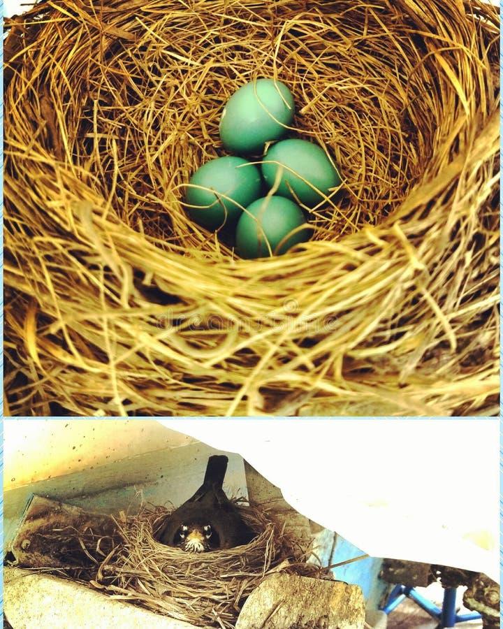 罗宾鸡蛋 库存图片