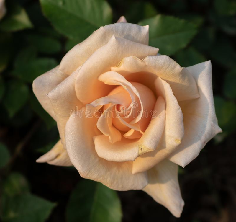 罗斯'冬天反对黑暗的叶茂盛背景的日落'绽放 免版税库存照片