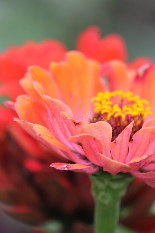 罗斯与细节的翠菊花 库存照片