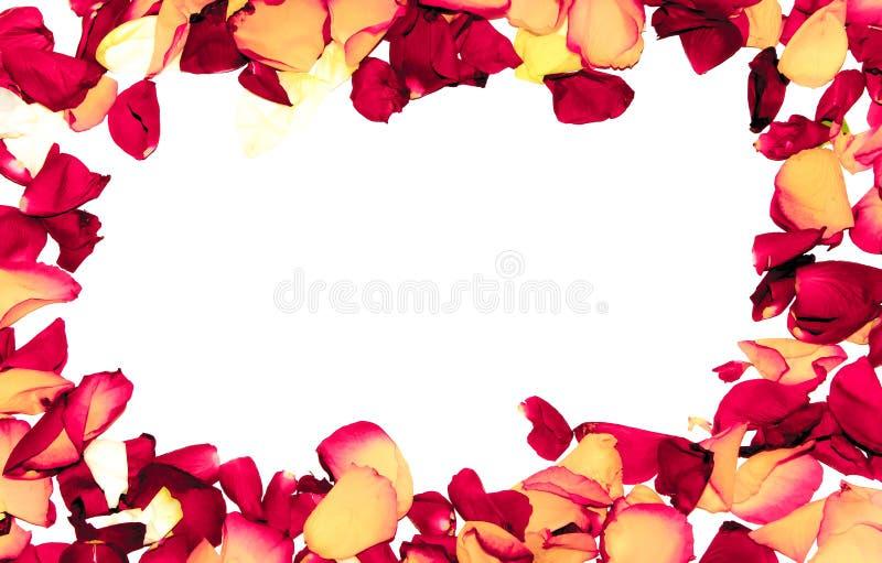 罗斯作为浪漫卡片的花框架在白色背景 皇族释放例证