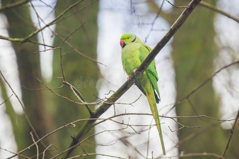 罗斯圈状或圆环收缩的长尾小鹦鹉Psittacula krameri鸟,栖息在森林里,冬天季节 图库摄影