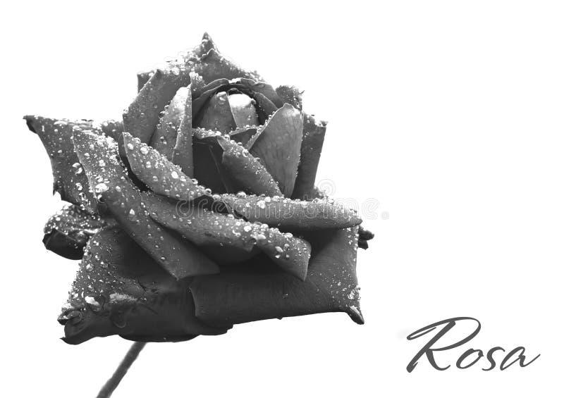 罗斯在小滴盖了在雨以后 背景黑色bw表面照片微笑 库存图片