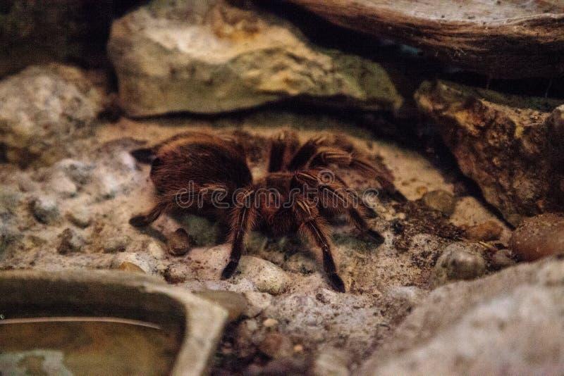 罗斯头发塔兰图拉毒蛛蜘蛛Grammostola rosea 库存照片