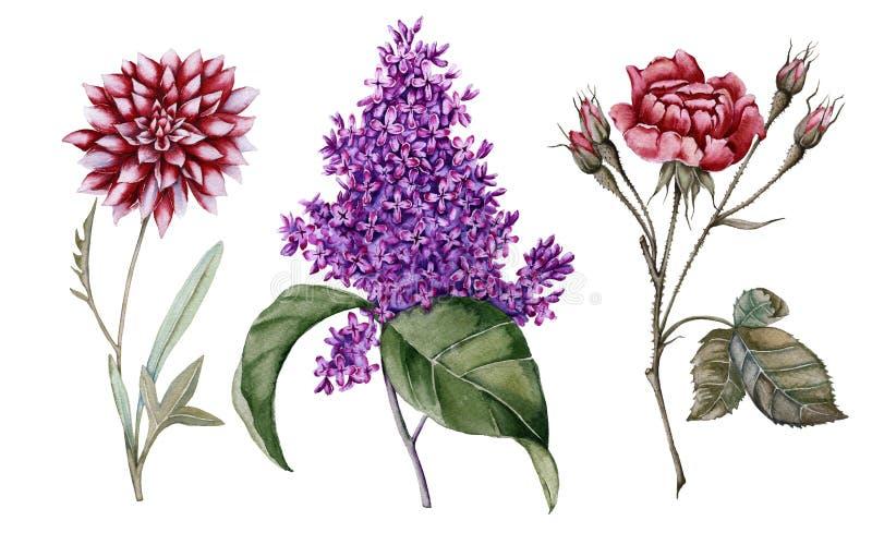 罗斯开花与芽、丁香和大丽花 背景查出的白色 库存例证