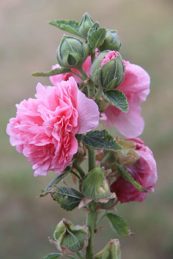 罗斯开花束生长外部在自然 关闭视图 库存照片