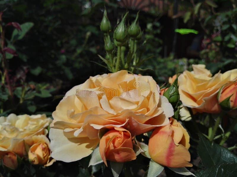 罗斯开花的梦想 库存图片