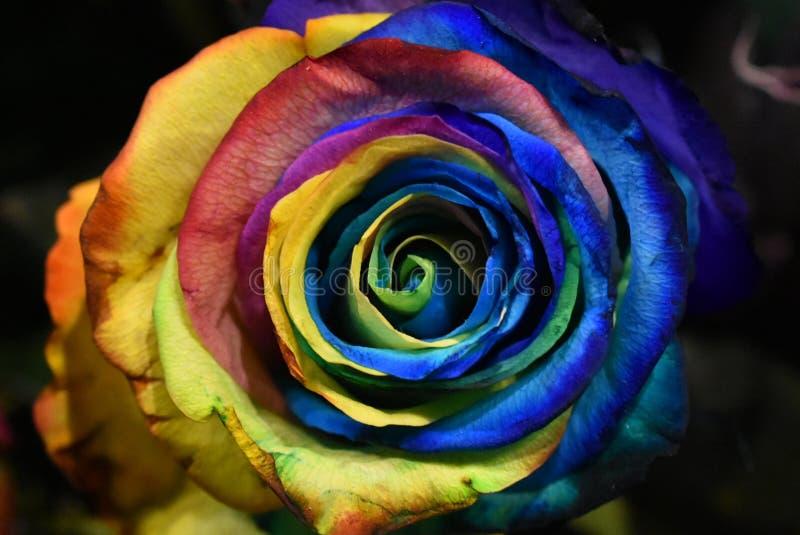 罗斯植物,Holambra巴西多彩多姿的花  库存图片