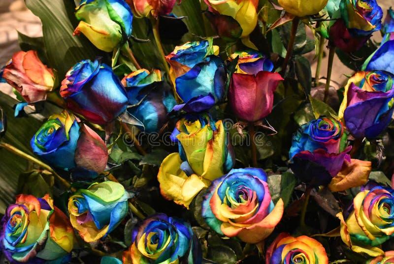 罗斯植物,Holambra巴西多彩多姿的花  免版税库存图片
