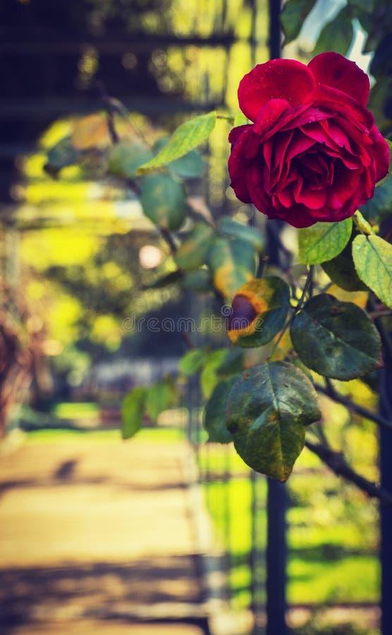 罗斯浪漫场面葡萄酒秘密花园心房走道的在城市公园 库存图片