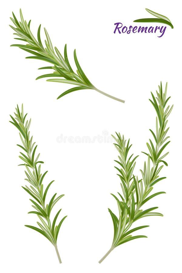 罗斯玛丽分支 在白色背景的被隔绝的迷迭香 库存例证