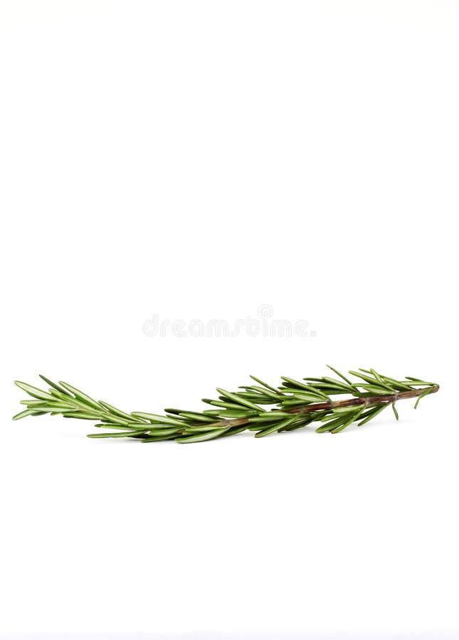 罗斯玛丽小树枝 库存图片