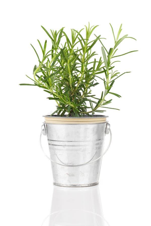 罗斯玛丽生长在一个困厄的奖杯罐的草本植物 免版税图库摄影