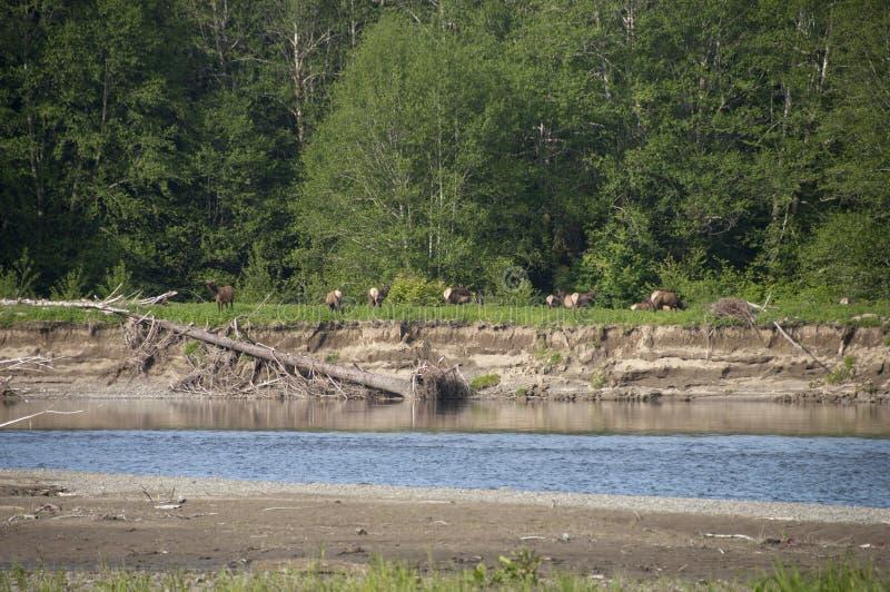 罗斯福麋牧群在奥林匹克半岛的 免版税图库摄影