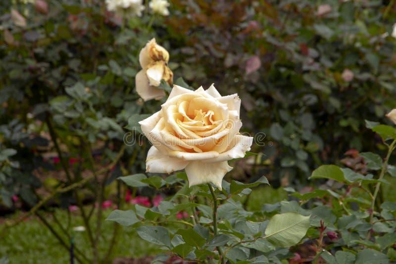 罗斯绽放-唯一地在盛开的乳脂状的桃子花 免版税库存照片